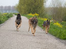 belgian sheepdog guard dog 6 fun facts about the belgian tervuren dog breed american kennel