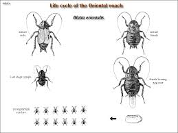 How To Get Rid Of Roaches In The Bathroom Roaches And Their Control United Exterminating Company Cherry