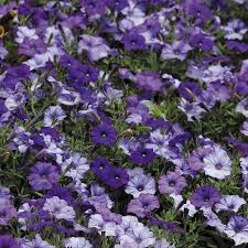 Dry Basement Wave Shock Wave Denim Shades Petunia Seeds