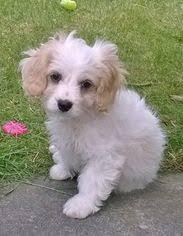 affenpinscher maltese mix maltese breed information and pictures on puppyfinder com