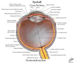 Anatomy Of Human Eye Ppt Tag Human Eye Structure Ppt Archives Human Anatomy Charts