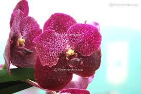 Names Of Purple by Orchid Flower Varieties