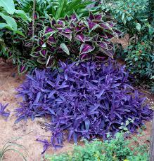 native australian ground cover plants t yellowgardening com