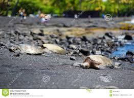 hawaiian green turtles relaxing at punaluu black sand beach on the