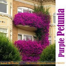 petunia flowers 100 true hanging purple petunia flower seed 200 seed pack