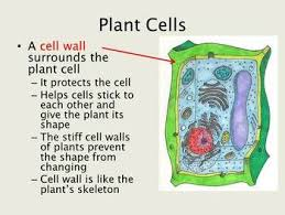 best 25 cell wall ideas on pinterest structure of plant cell