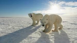 about us polar bears international