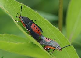Tiny Red Bugs On Patio by Bug O U0027 The Week Cornworms And Hornworms And Sqush Borers Oh My