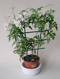 Best Fragrant Indoor Plants - jasminum polyanthum jasmine our house plants