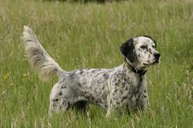 types of setter dog breeds hunting dog breeds 5 of the best sporting canines