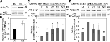 photosynthesis activates plasma membrane h atpase via sugar