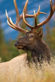 post rut elk hunting when the bugling dies outdoor life