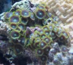 led lighting for zoanthids zoa comp f3