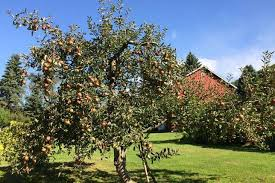 Apple Tree In My Backyard Want A Cider Apple Orchard Here U0027s What To Plant Mnn Mother
