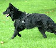 belgian sheepdog training guide belgian sheepdog harness dog harness shop leather nylon