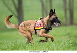 belgian sheepdog rescue uk belgian shepherd dog europe stock photos u0026 belgian shepherd dog