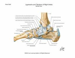 Lateral Collateral Ligament Ankle Posterior Talofibular Ligament Pr Energy