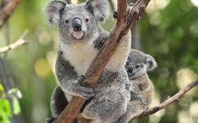 koala animal desktop wallpaper 16559 1920x1200 umad com