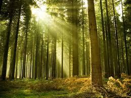 forest tree sun light spruce 1440 1920 harmonia philosophica