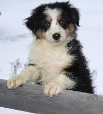 australian shepherd puppies rescue australian shepherd breeders canada u0027s guide to dogs australian