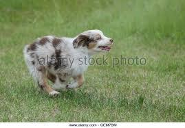 miniature australian shepherd 8 weeks old 8 week old puppy stock photos u0026 8 week old puppy stock images alamy