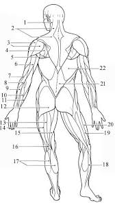 Abdominal Anatomy Quiz Muscles Of The Body Quiz Posterior View Of Superficial Muscles
