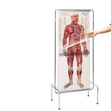 Human Male Anatomy Explore The Human Body Layer By Layer By Peeling Away Transparent