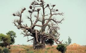 Tropical Savanna Dominant Plants - native plants u0026 animals in nigeria usa today