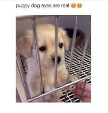 Puppy Eyes Meme - puppy dog eyes are real meme on me me