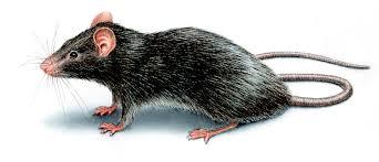 roof rats u2013 control u0026 identification u2013 orkin com