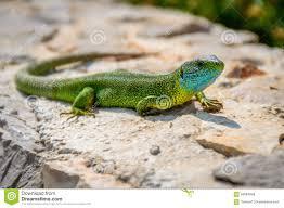 green emerald gecko lizard sunbathing on a rock stock photo