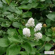 jersey tea plant ceanothus americanus country gardens