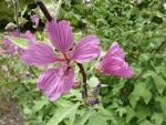 Lavatera&#39; (<b>Malvaceae</b>)