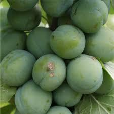 plum greengage buy plum tree purchase plum fruit trees