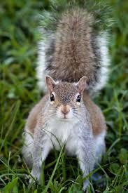 best 25 eastern gray squirrel ideas on pinterest squirrels
