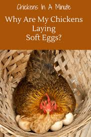 134 best chickens 101 images on pinterest chicken coops raising
