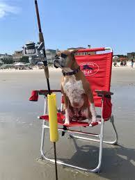 boxer dog t shirts uk amber the boxer dog amber boxer dog twitter