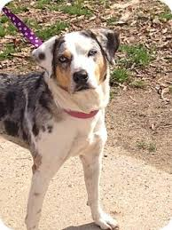 australian shepherd catahoula mix baton rouge la catahoula leopard dog australian shepherd mix