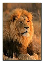 lion print amazon com lion print on canvas framed and ready to hang