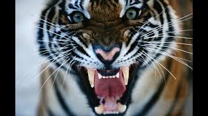 tiger closeup ngsversion 1466006159309 jpg