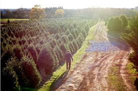 misty run tree farm lebanon u0027s largest choose u0026 cut christmas