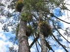 Image result for Abies guatemalensis
