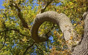 oak trees wallpapers download oak trees hd wallpapers for free