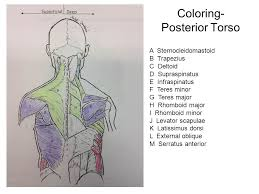 muscles of the torso upload u201c8 21 muscles of the torso worksheet
