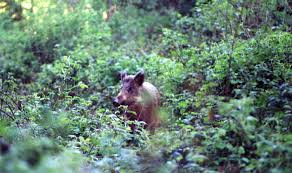 boar in britain