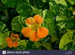 orange flowers of garden nasturtium indian cress monks cress