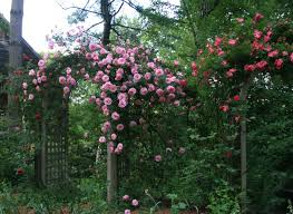 roses essential for an english garden grown in maine american