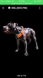 american pitbull terrier gator ch rutkus meets ch rodriguez gator in hoobly classifieds
