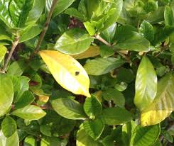Rust Disease On Plants - what u0027s wrong with my gardenias yellow leaves spots rust
