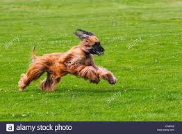 afghan hound dog images male afghan hound dog canis lupus familiaris running on